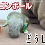 ドラゴンボール ゲットした 鳥 〔 ムラクモインコ Meyer's parrot 〕